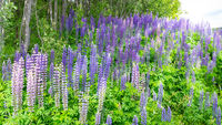 Colorful wild lupines