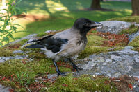 Young Hooded Crow Standing on Rock