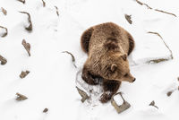 Brown Bear on a snow (Ursus arctos)