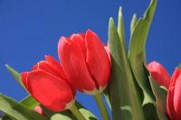 Rote Tulpen Ausschnitt