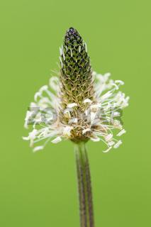 Plantago lanceolata on green background_Plantain plant