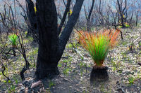 Bush recovery after bushfires in Blue Mountains Australia