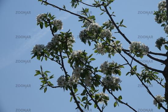 Pyrus communis, Wildbirne, Wild Pear