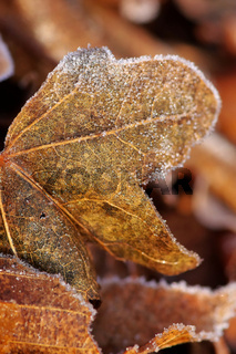 Blatt im Frost