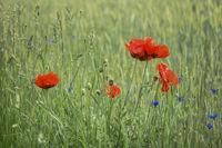 Mohn und Kornblumen - Farbtupfer in der Wiese