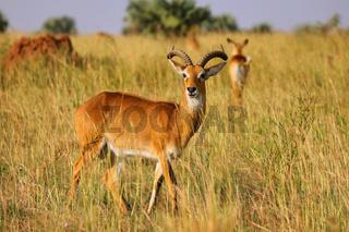 Uganda-Grasantilope im Murchison Falls Nationalpark Uganda (Kobus thomasi) | Ugandan kob, Murchison Falls National Park Uganda (Kobus thomasi)