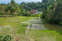 Terrassenförmige Reisfelder auf Samosir, die Insel im Toba See auf Sumatra
