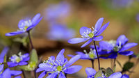 Hepatica Nobilis Flowers Close Up