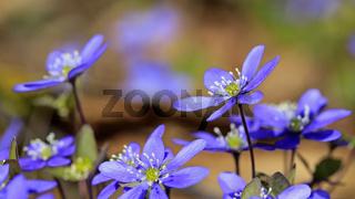 Hepatica Nobilis Flowers Close Up