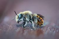 Eine Nahauifnahme einer Honigbiene, Bienen sind äußerst nutzvolle Insekten.