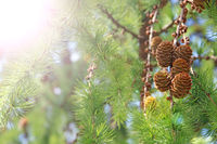 Larch cones growing in row on branch with needles lit by sunny rays