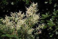 Himalaja-Knoeterich (Aconogonon polystachyum)