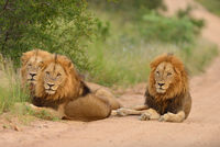 Male lions in the wilderness of Africa