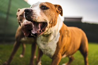 Two dogs amstaff terrier playing on grass outside. Young and old dog fun in backyard.