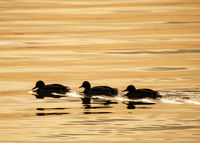 three ducks in a row on the lake neusiedlersee