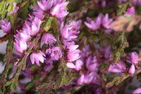 Purple heather flowers background macro photo