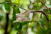 Asian Vine Snake, north Sulawesi, Indonesia wildlife