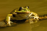 Close-up of a edible frog sneaking out of water in summer