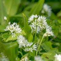 Weichgezeichnete Bärlauch Blüten mit Blättern vor unscharfem grünen Hintergrund