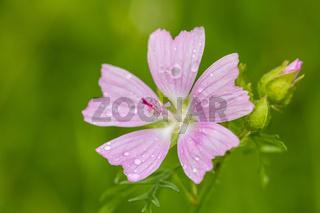 Malva Alcea flower in summe meadow