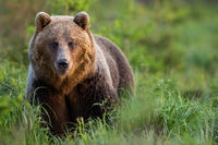 Brown bear female on glade with tall green grass looking into camera in summer