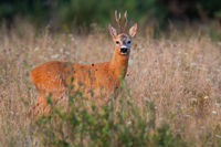 Roe deer buck standing on growned field in summertime nature