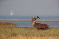 Red Deer (Cervus elaphus)  Germany