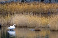 Hoeckerschwan Altvogel im Herbst in den Schwedischen Schaeren bei Stockholm