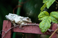 Cuban Tree Frog Osteopilus septentrionalis perches on a vine trellis