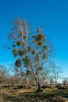 Mistelkugeln in einem Baum