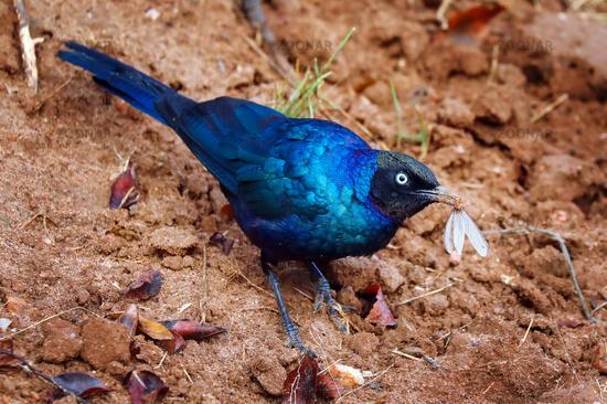Schweifglanzstar im Lake Mburo Nationalpark in Uganda (Lamprotornis purpuroptera) | Rueppell's Glossy-starling at Lake Mburo National Park in Uganda (Lamprotornis purpuroptera)