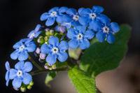 Siberian bugloss, Brunnera macrophylla
