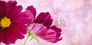 Dark pink cosmos flowers on soft pastel background