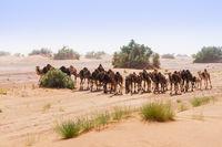 Kamelherde in der Sahara
