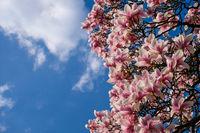 Magnolia tree aginst blue sky