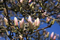 Blueten am Magnolienbaum