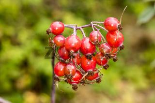 Rosa glauca, Rotblättrige Rose, Rotblatt-Rose