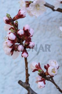 Aprikosenbaum - Knospen und Blüten, Nahaufnahme