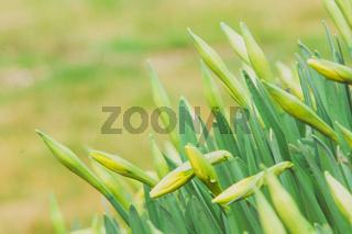 beautiful fresh spring daffodils in springtime