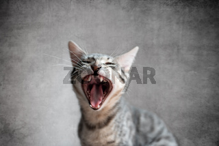 Cat yawning with mouth open and eyes closed