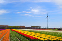 Fields full of Dutch colorful tulips