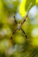 spider Argiope aemula, Indonesia wildlife