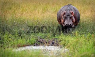 Flusspferd im Queen Elizabeth Nationalpark, Uganda (Hippopotamus amphibius) | Hippo at Queen Elizabeth National Park, Uganda (Hippopotamus amphibius)