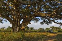 Weit ausladende Äste der Maulbeerfeige (Ficus sycomorus), Hawzien Hochebene, Tigray, Äthiopien