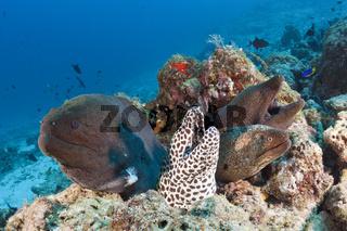 Riesenmuraene, Grosse Netzmuraene, Malediven