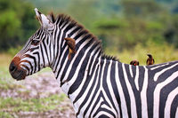 Zebras im Lake Mburo Nationalpark in Uganda (Equus quagga) | Zebras at Lake Mburo National Park in Uganda (Equus quagga)