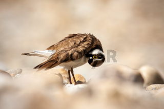 Little ringed plover cleaning its feathers and standing on rocks in nature