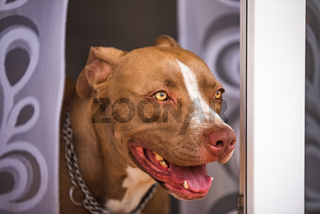 Closeup of young Amstaff dog looks out through garden doors.