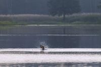 Spiegelkarpfen springt aus dem Wasser