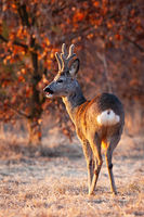 Strong roe deer buck chewing with open mouth on a meadow in evening light